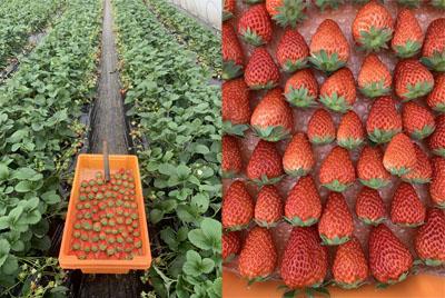 20210121-strawberry.jpg