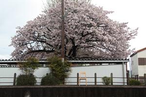 20110419-SAKURA2.jpg