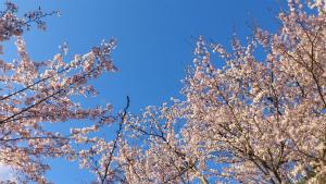小倉公園の桜.jpg